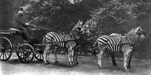 The 'eccentric' Walter Rothschild in his Zebra-drawn carriage.